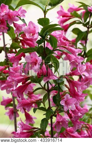 The Blossoming Weigela Branches With Bright Flowers And Fresh Green Leaves.flowers And Leaves Damp A