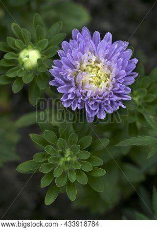 Aster Blue Flowers In A Garden Close - Up View