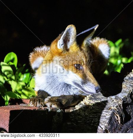 Red fox cub, vulpes vulpes, crouched on a garden wall. This is a young pup venturing into a city garden at night. Foxes are mainly nocturnal and will come out at night to scavenge or hunt for food.