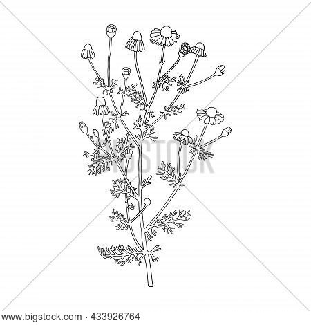 Daisies. Can Be Used For Cards, Invitations, Advertising, Web, Textile And Other.