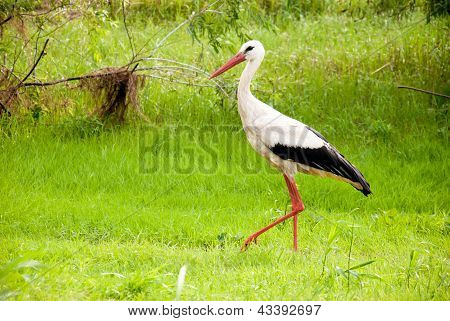 Stork In The Forest