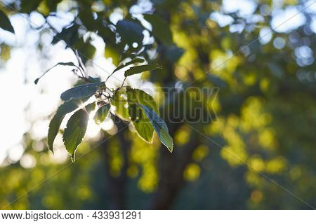 Close up of tree leaves nature background.Nature background of tree leaves. Tree leaves nature background. Nature. Close up background nature of tree leaves. nature background forest Nature background. Leaves nature. Green nature background. Park nature