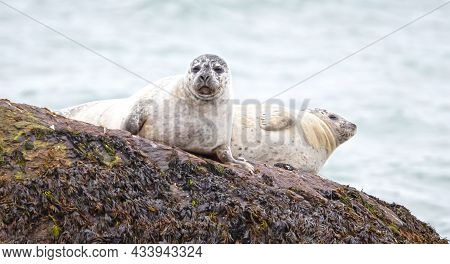 Adult Seals In South-iceland, Relaxing On A Rock, Cold Waters Of The Atlantic Ocean