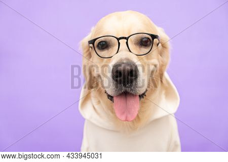 The Dog In Glasses And In A White Sweatshirt Sits On A Purple Background. The Golden Retriever Is Dr