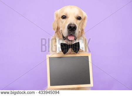 The Dog Is Holding A Black Sign With Place For Text. Golden Retriever Sits On A Purple Background In