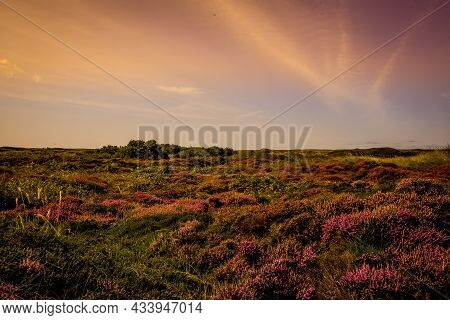 Texel, Netherlands. September 2021. Flowering Heather On The Island Of Texel.