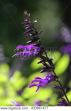 The Bright Vivid Colors Of A Single Salvia Amistad Flower. Vibrant Purple Flowers Against Lime Green