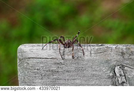Wolf Spider Close-up. Dangerous Spider Insect Is Sitting On A Tree. Spider Macrophotography. Predato