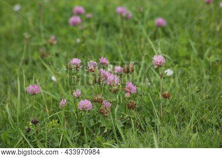 Bumblebee Sits On Pink Clover Flower On Green Grass Background Close Up, Bumble Bee On Blooming Purp