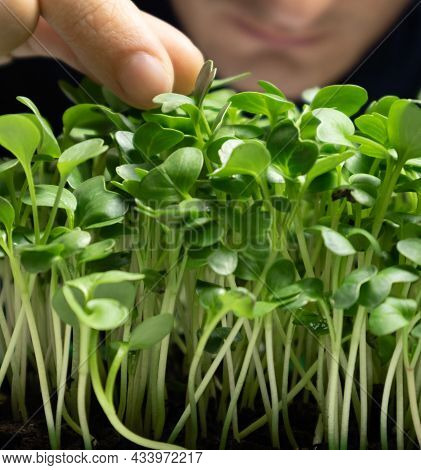 Mens Hands Hold Microgreens In A Pot. Radish Microgreens Grow In A Pot. Selective Focus.