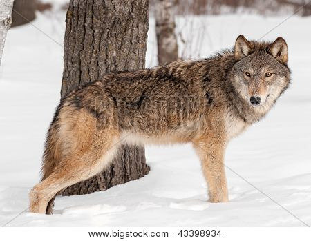 Grey Wolf (Canis lupus) Stands by Tree in Snow