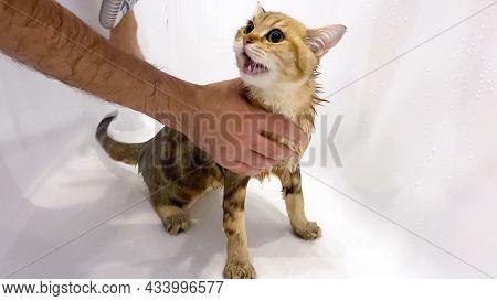 Wet Ginger Kitten Take A Bath. Hands Washing Cat