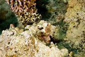 bearded scorpionfish (scorpaenopsis barbatus)taken in the red sea. poster