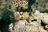 bearded scorpion fish (scorpaenopsis barbatus)taken in the red sea. poster