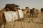 A camel caravan operated by Berber  nomads hauls salt in the Sahara desert of Mali, Africa poster