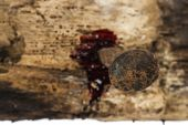 rusty nail on wood with blood drips focus on nail head poster
