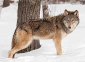 Grey Wolf (Canis lupus) Stands by Tree in Snow - captive animal poster