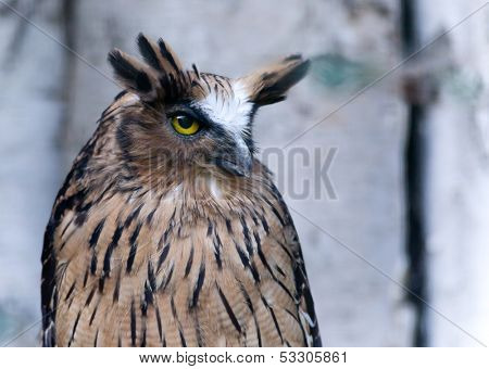Great Horned Owl sits and stares into the camera.