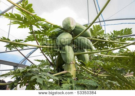 Papaya trees and fruits in a greenhouse