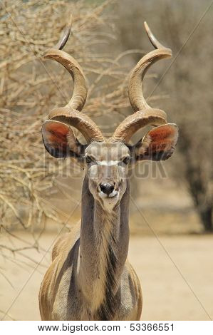 Kudu - Wildlife Background from Africa - Horns and Ears