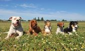 five purebred dogs laid down in a field t-shirt