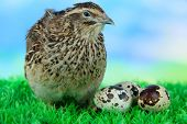 Young quail with eggs on grass on blue background poster