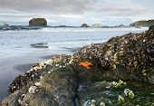 starfish, mussels, and barnacles on Oregon rock at low tide poster