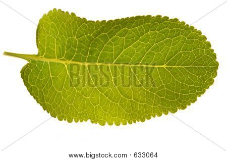 Isolated Green Leaf Texture
