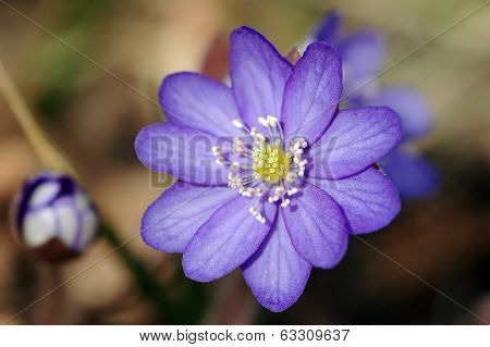 Liverwort (hepatica Nobilis)