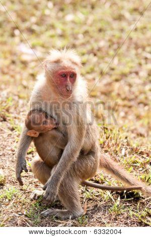 Bonnet Macaque Nursing