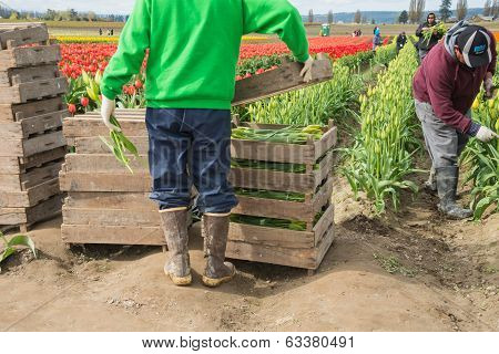 Migrant Agricultural Workers Picking Tulips