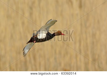 Red Crested Pochard (netta Rufina)