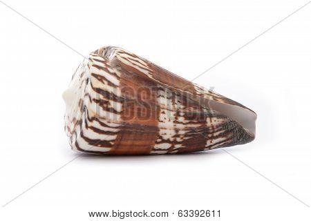 Weasel Cone Snail (rhizoconus Mustelinus)