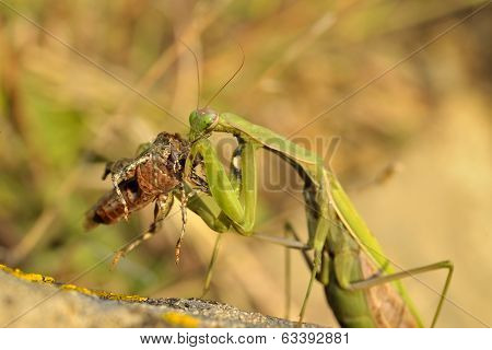 Insect Outdoor (mantis Religiosa), Eating