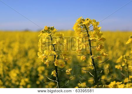 Flowers Of Colza