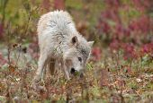 Blonde Wolf (Canis lupus) Sniffs in the Grass - captive animal poster