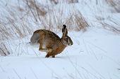 Scrub hare (Lepus saxatilis) in natural habitat poster