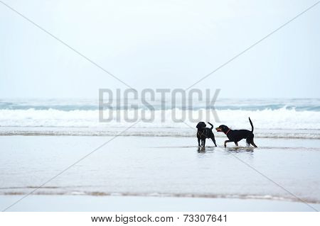 Retriever labrador and doberman playing together on the beach, beautiful dogs on beach walk