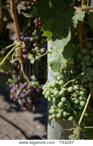 grapesonvines