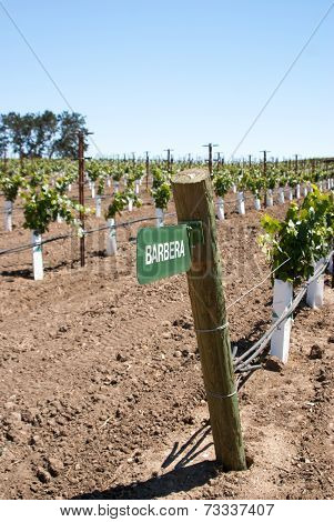 Sign For Barbera Grape In Califonia Vineyard