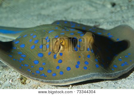 detail of a blue spotted sting ray poster