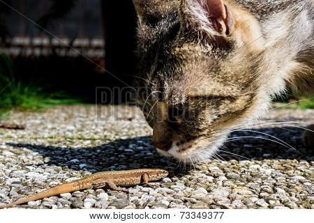 Cat Smelling A Lizard