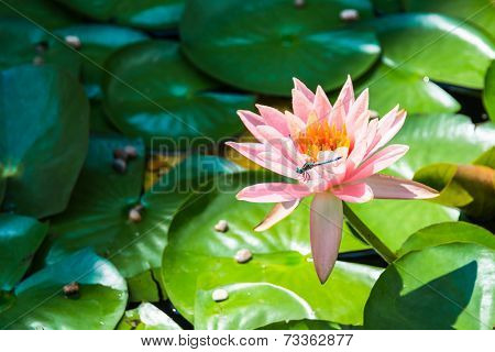 Dragonfly On Water Lily Flower