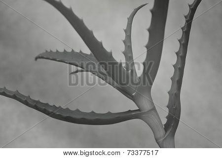 Aloe vera sillhouette on white background