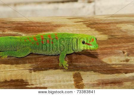 Wild Madagascar Giant Day Gecko