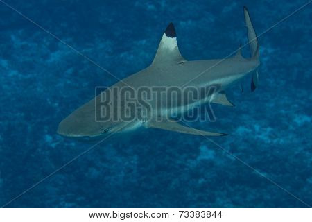 Blacktip Reef Shark in Bora Bora, French Polynesia