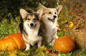 Welsh Corgi Pembroke dog and pumpkin poster