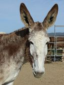 Lucy, A Mommoth Donkey with extra large ears, a sweet face & her winter coat poster