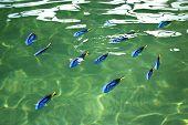 Blue tang or Regal tang or Palette surgeonfish (Paracanthurus hepatus ) poster