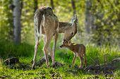 White-Tailed Deer (Odocoileus virginianus) Licks Her Fawn - captive animals poster